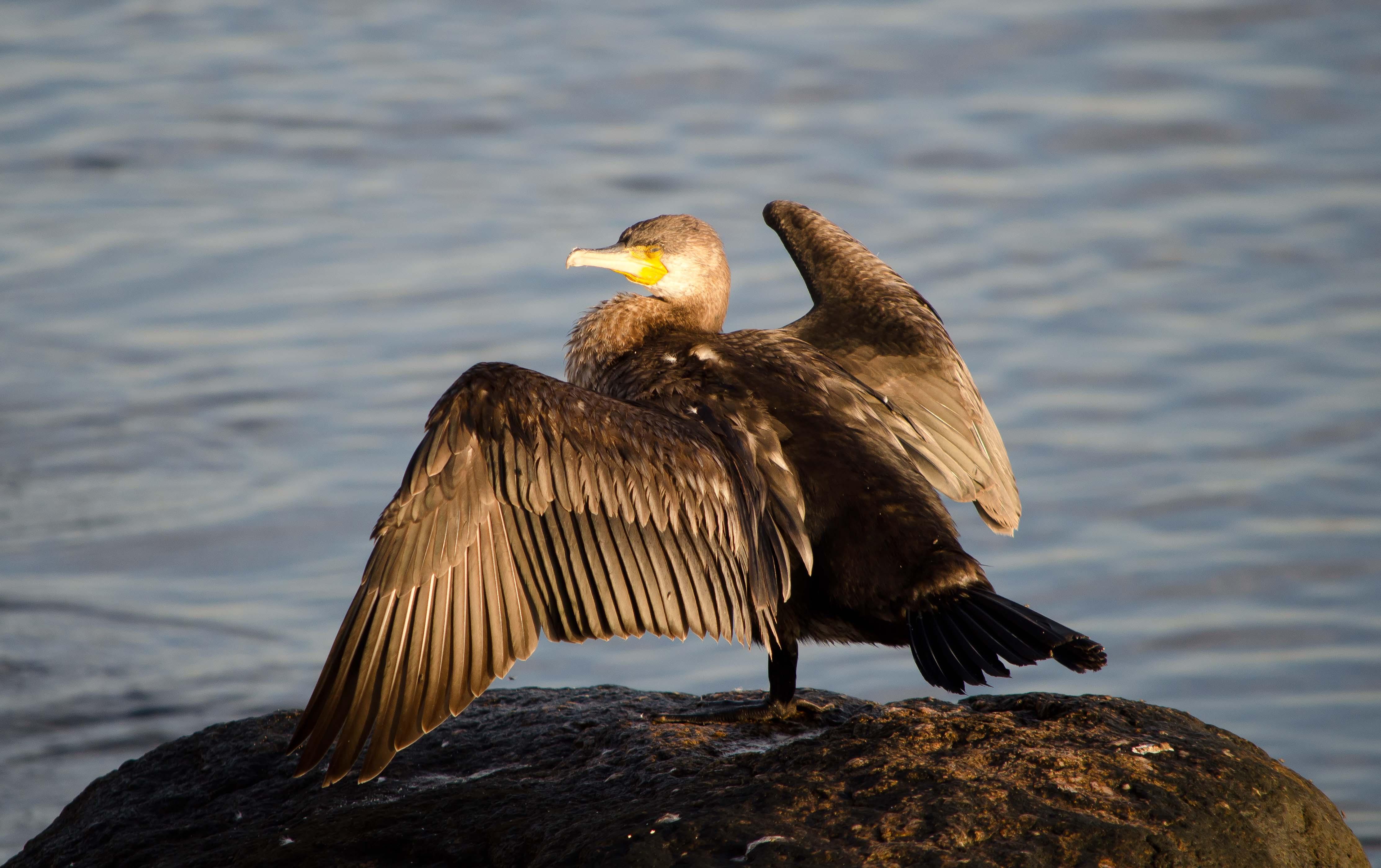 Cormorant on the Baltic Sea