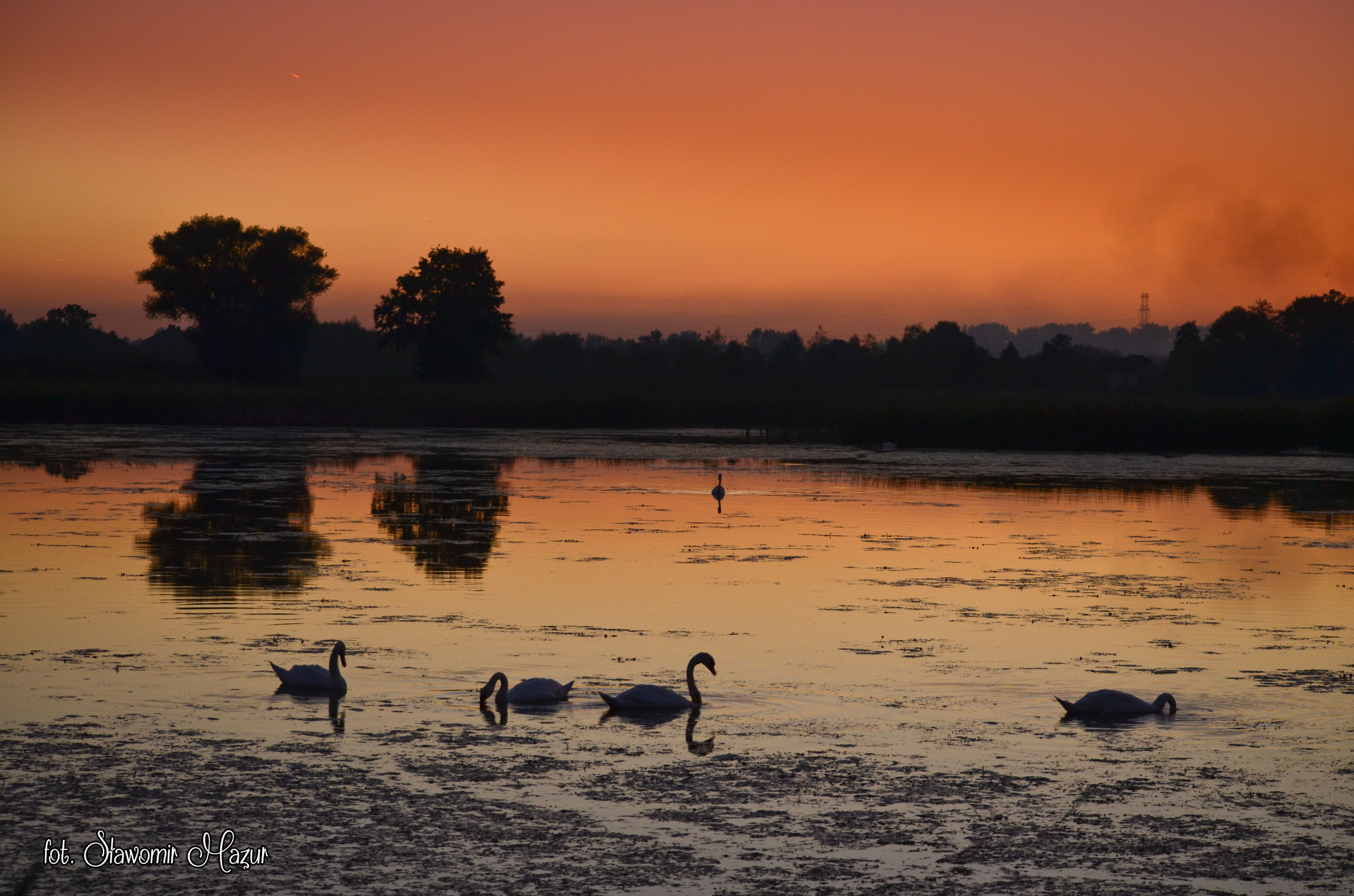 Sunset with swans