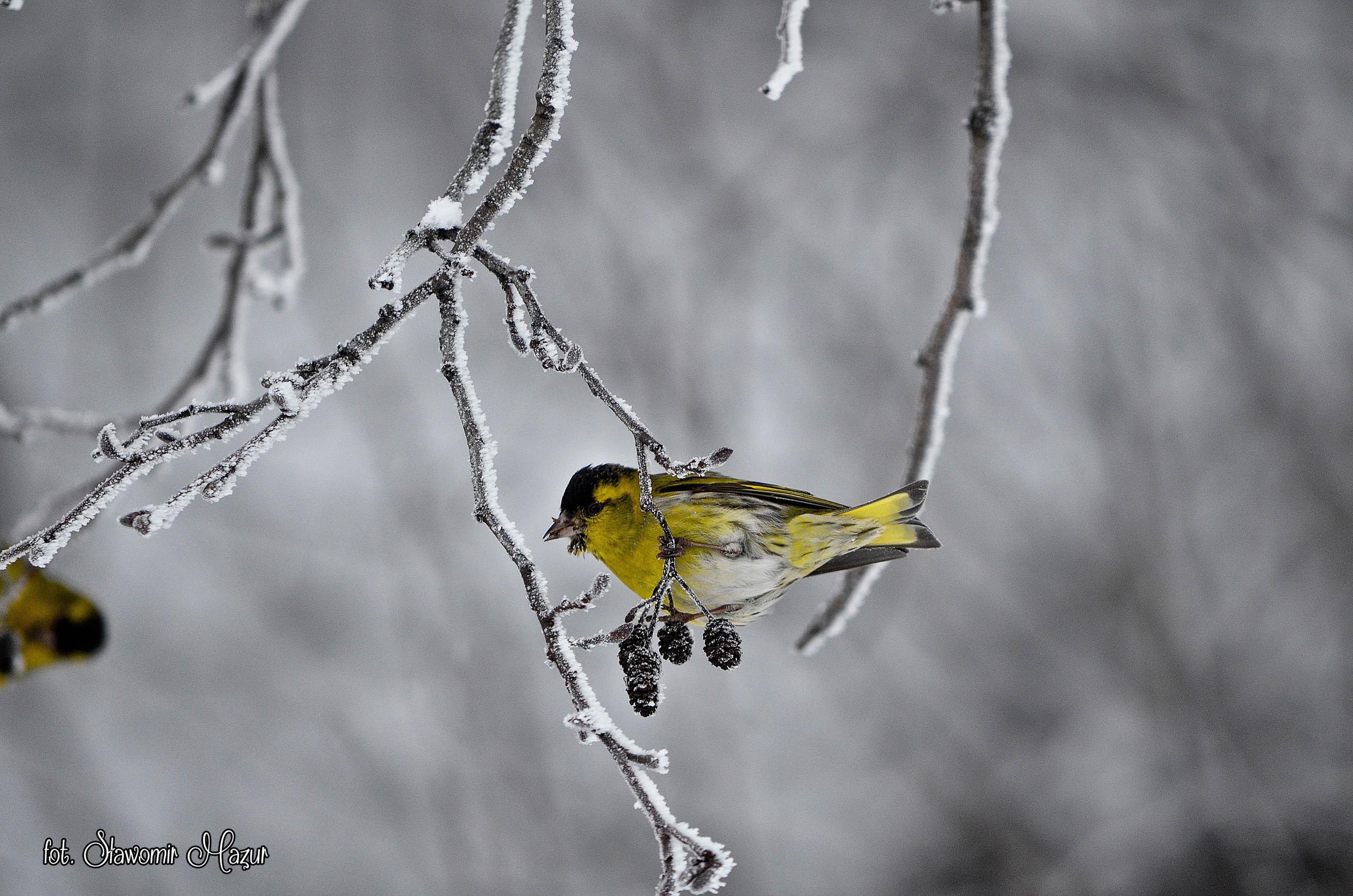 winter bird / zimowy ptak