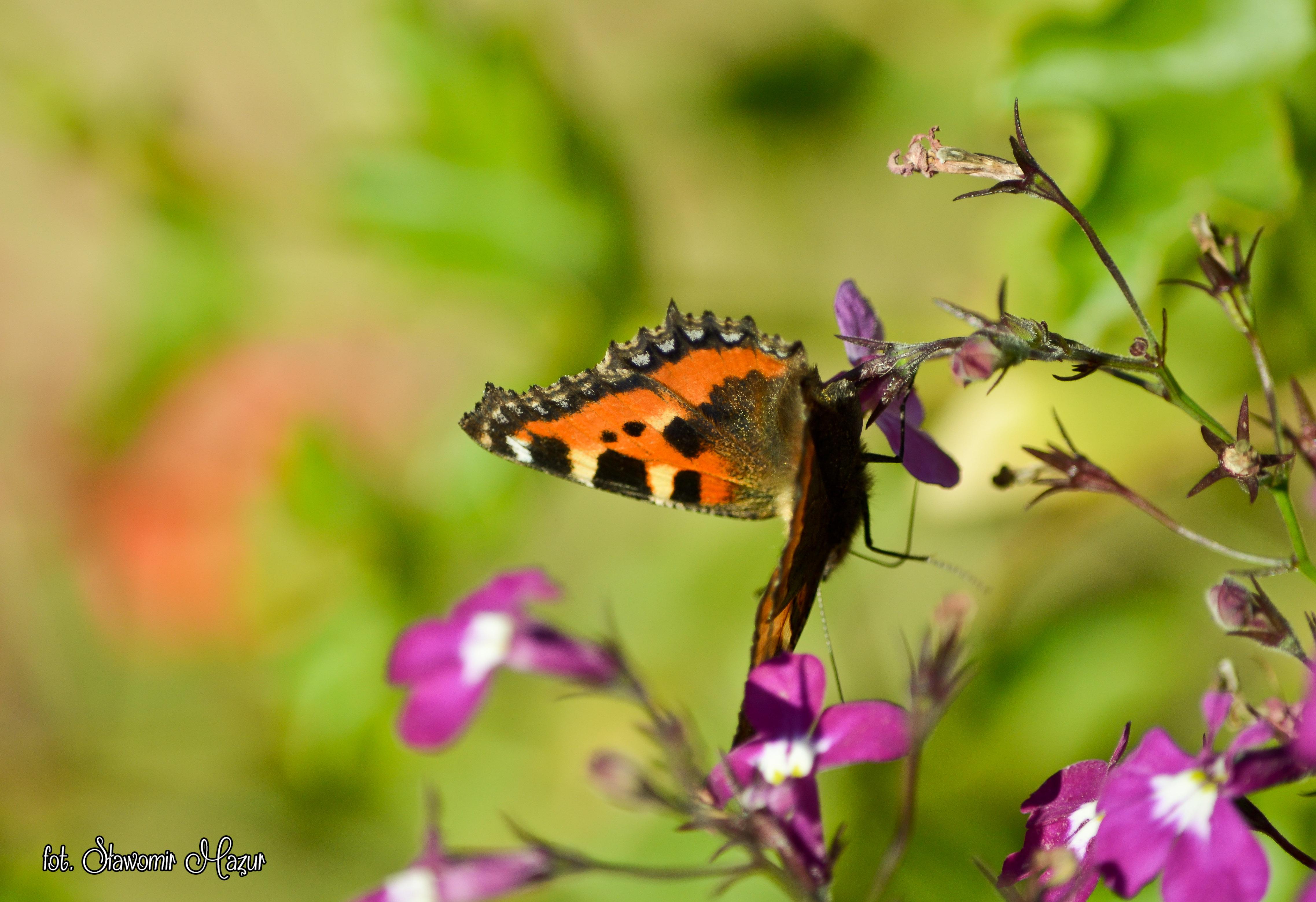 Schmetterling unter Blumen