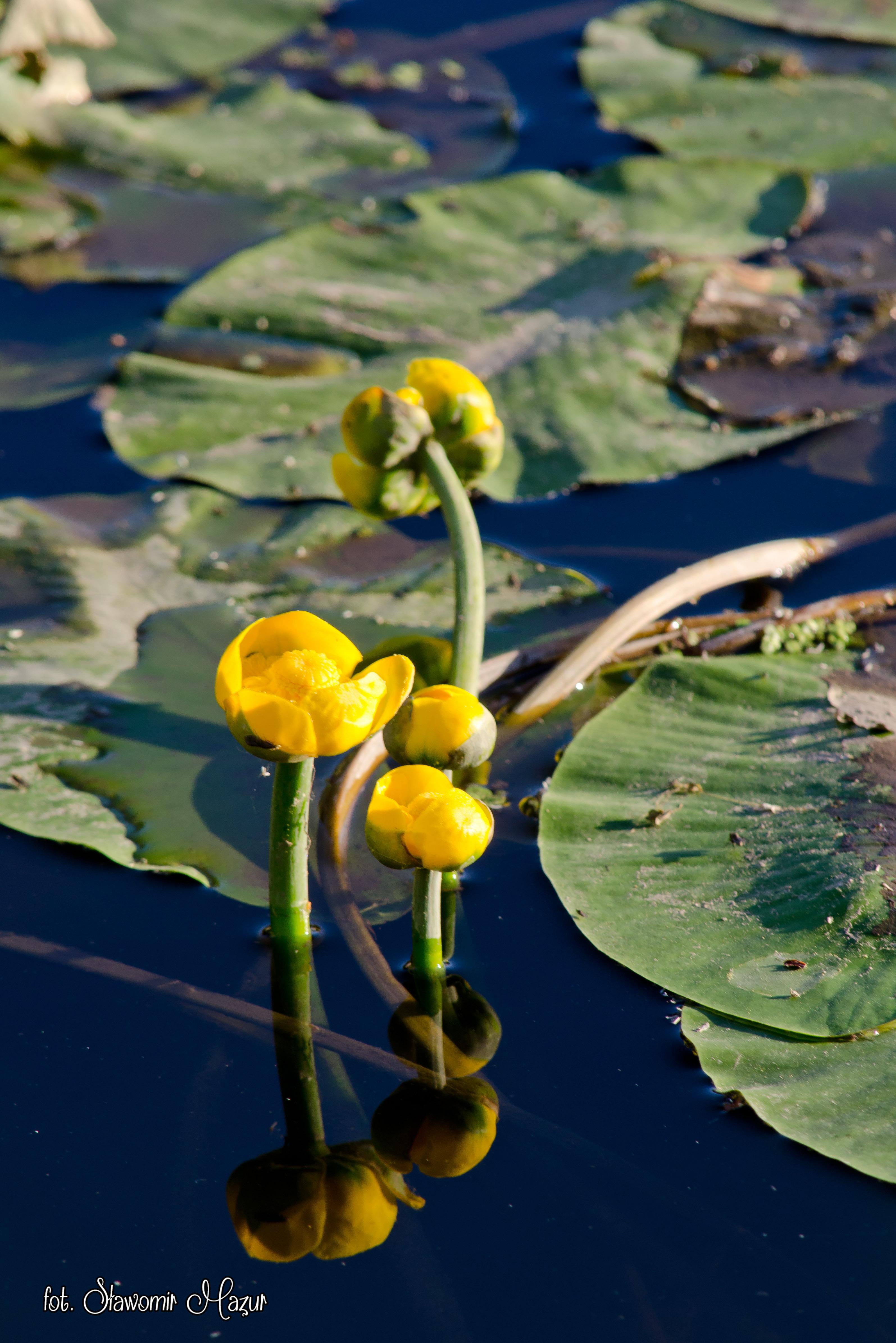Grążel żółty – Nuphar lutea