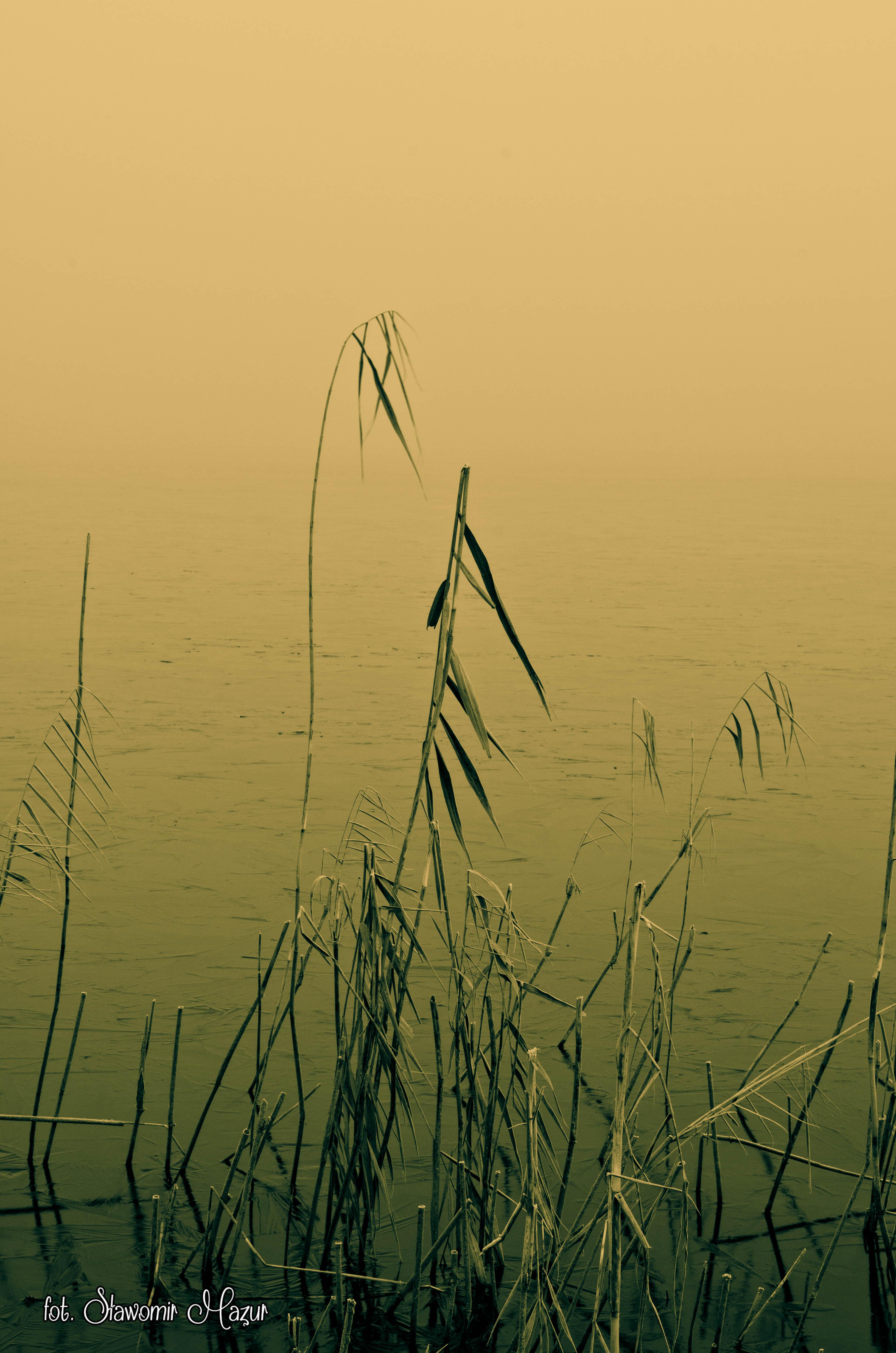 Trzciny we mgle
